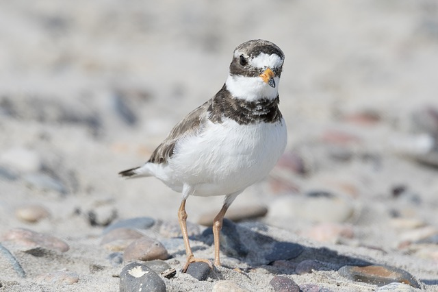 Rockaway Beach Plover Day Festival July 7 Queens NYC therockawaysny